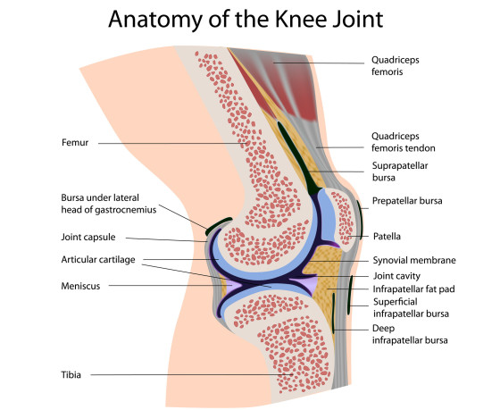 knee_anatomy